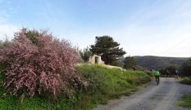 Blossomed almond tree next to Agios Georgios church. Voritsi village Greece
