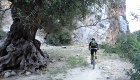 agiofaraggo mountain bike tour Crete old olive tree