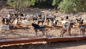 goats and sheep at a paddock near mochos village Crete