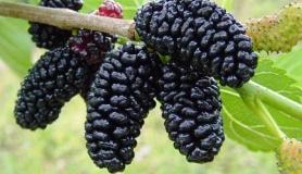 mavra moura mura alba fruits