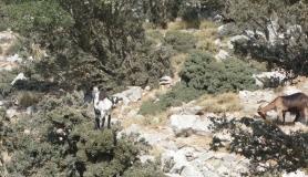 wild goats climb on a tree