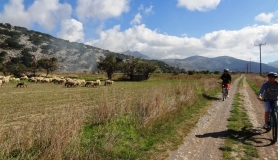 cyclists and sheep. Lasithi plateau very easy tour