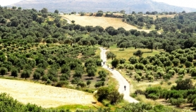 Olive trees at Mesara plain - Askitiki