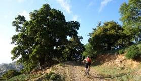 huge prinos oak tree