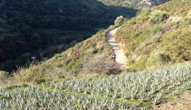 aloe vera plantation on the way to vasilikos from Fodele