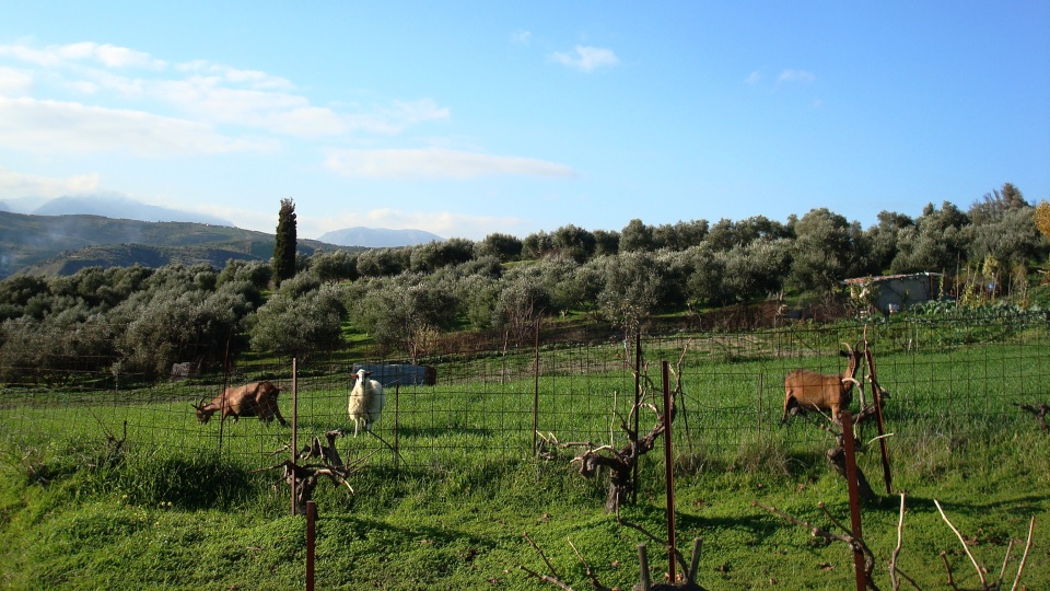 goats grazing in a pasture at Crete