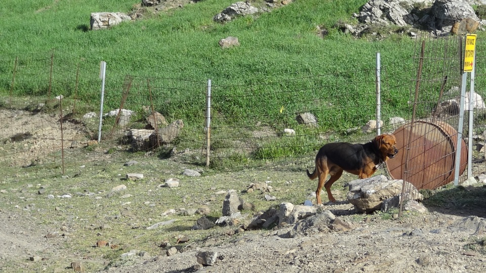dog at crete scares the goats