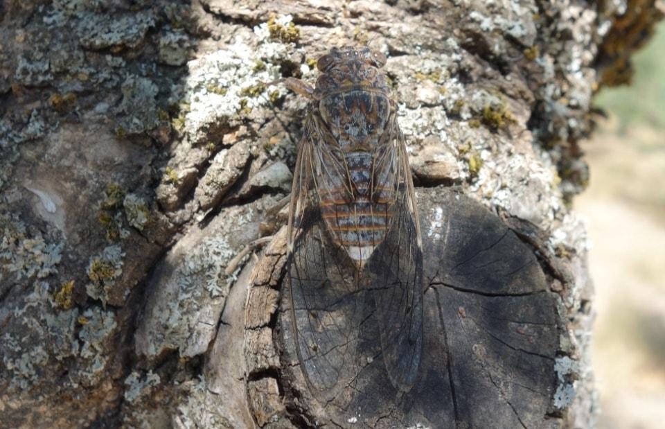 cicadas crete camouflage