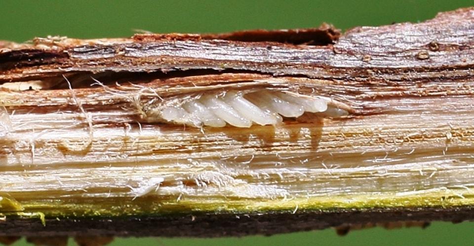 cicadas eggs