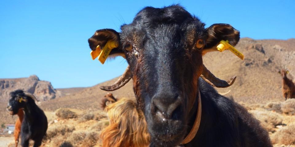 goat at south crete greece