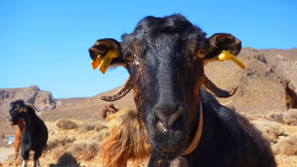 header-image-goats