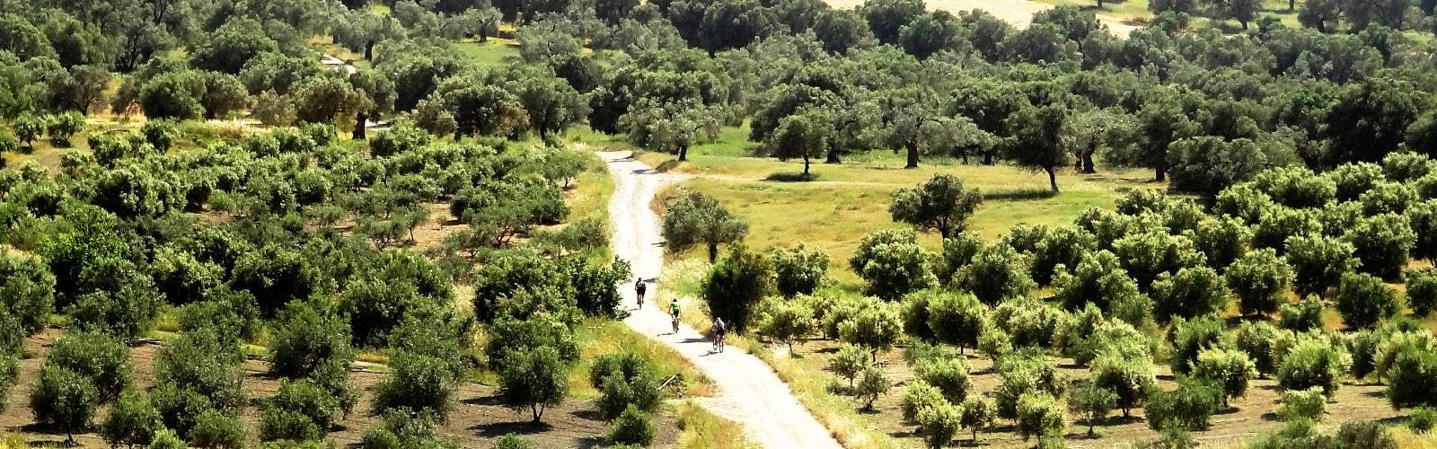 30-000-000-olive-trees-in-kreta-min