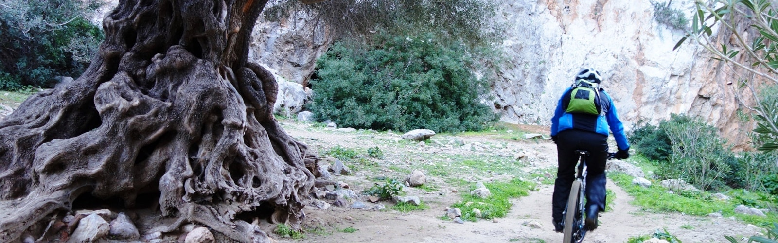 very old olive tree and cyclists