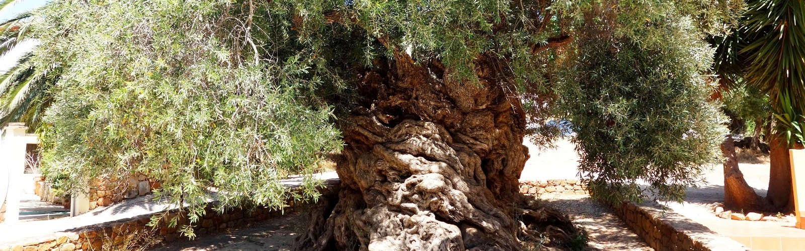 the oldest olive tree in the world vouves