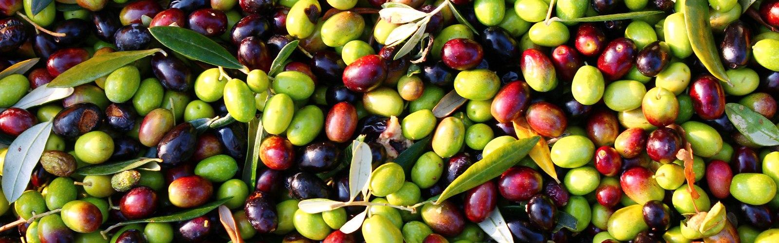 hurvested-olives-min