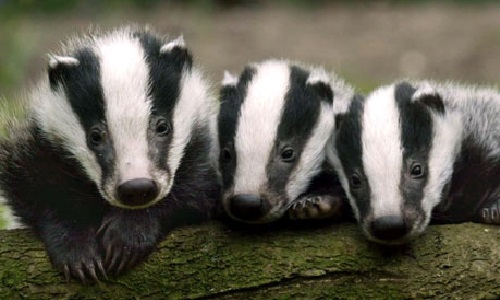 baby-badgers