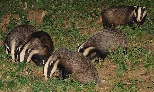 badger-family