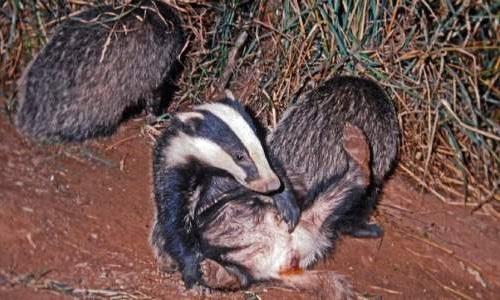 badger-gland