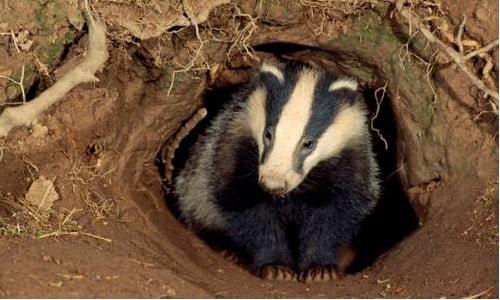 badger-is-sett