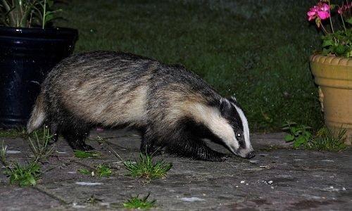 badger-of-crete-arcalus