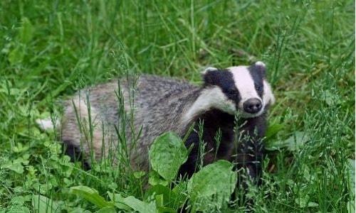 badger-of-crete-arcalus-5