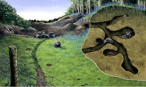 badger-sett-arcalus