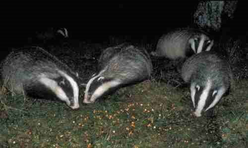 badgers-eating