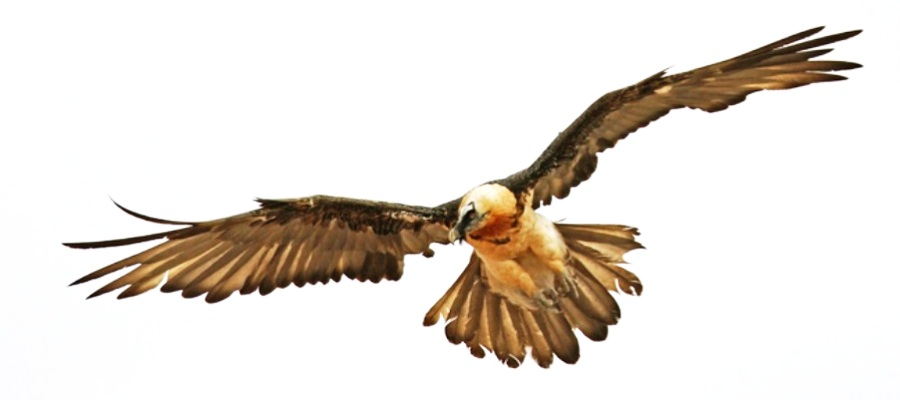 bearded-vulture-the-biggest-bird-of-europe