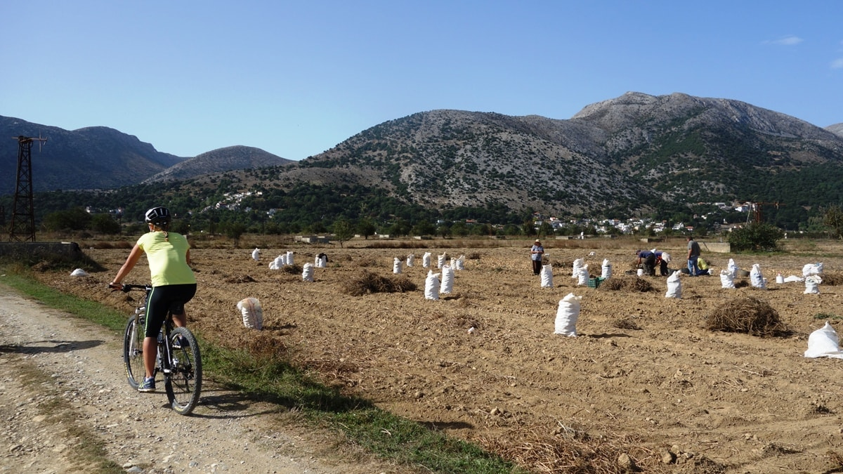 farmers collecting potatos at lasithi plateau Crete cyclists watching