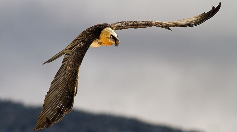 How Do Vultures Get Their Food