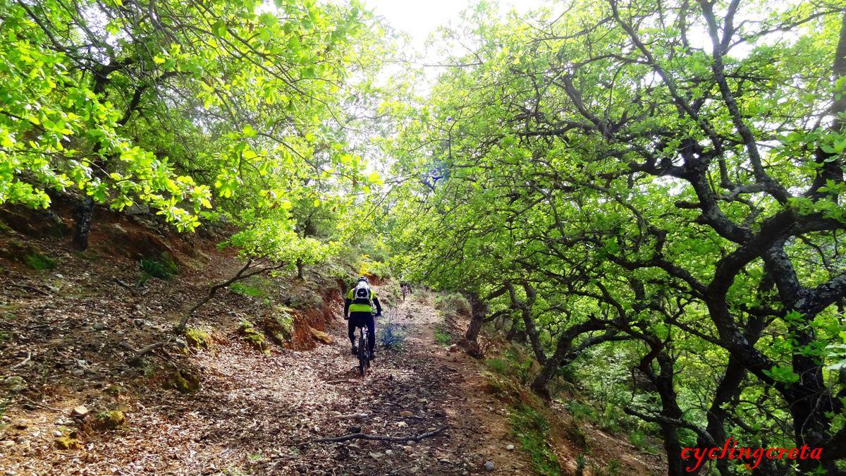 Armenoi village Rethymno oak trees
