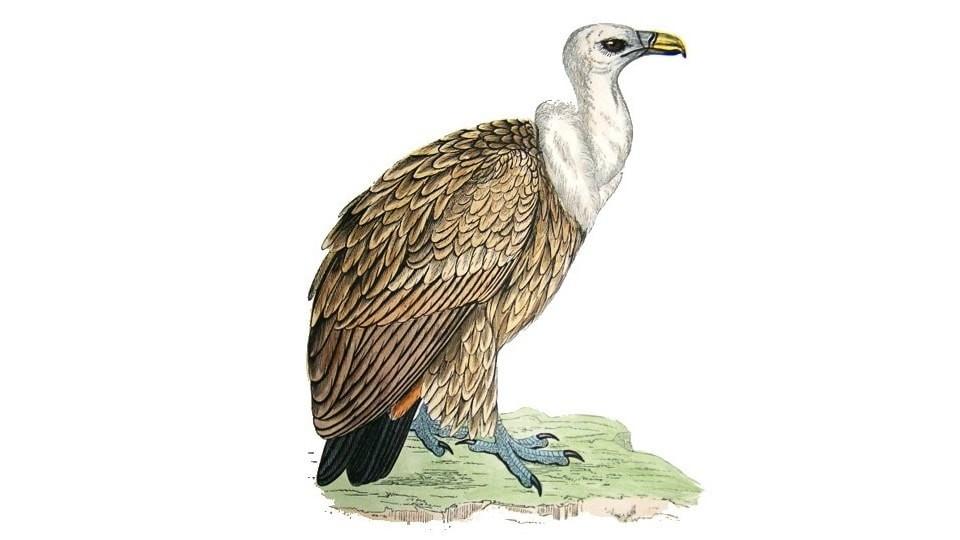 Gyps fulvus ornio gypas vitsila griffon birds of crete feature image
