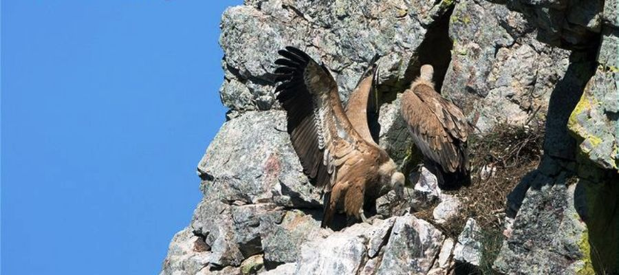 Gyps fulvus ornio gypas vitsila griffon birds of crete on the rock