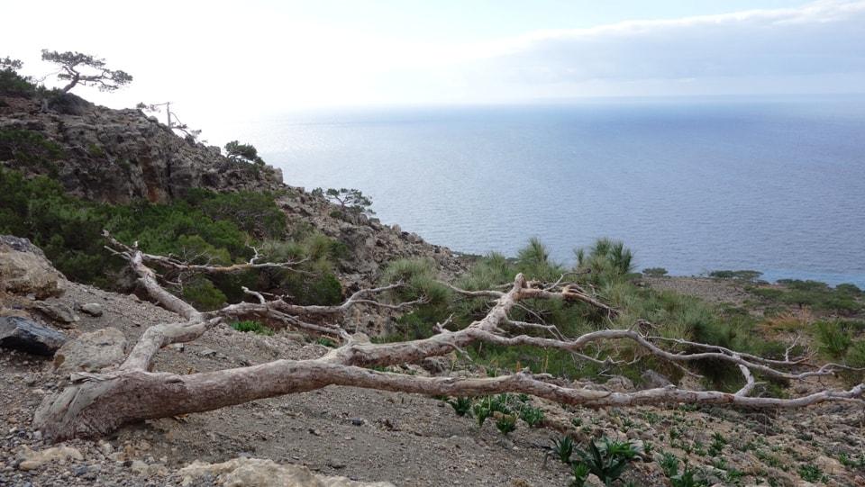 horizontal pine tree kapetaniana kofinas koudoumas mountain bike tour Crete Kreta