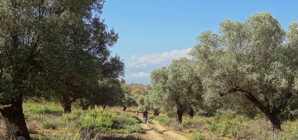olive forests of crete and cyclists